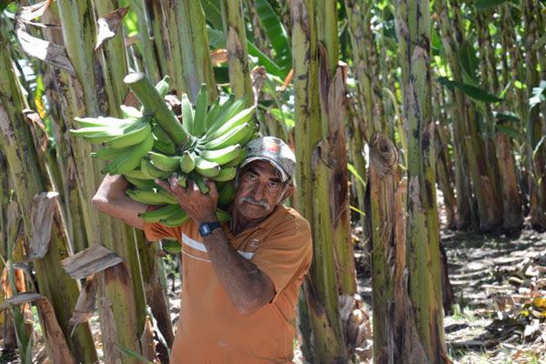 Pedro Fonseca é um dos pequenos produtores da região do Vale do Açu. Suas culturas, principalmente banana, não se perderam por causa de cinco poços artesianos que existem na fazenda