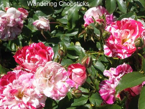 Day 19 The International Rose Test Garden - Portland - Oregon 5