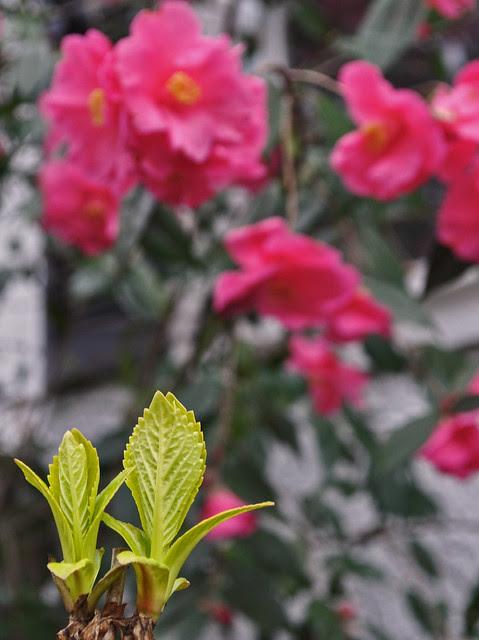 Hydrangea 'Sun Goddess' foliage