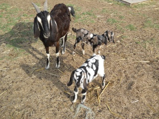 New 2012 Goat Buck and Doe RJ and Raquel