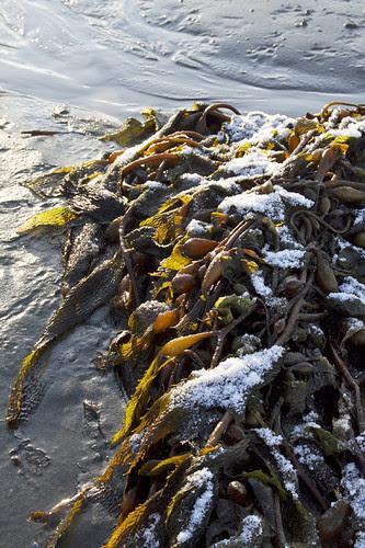 snow on seaweed