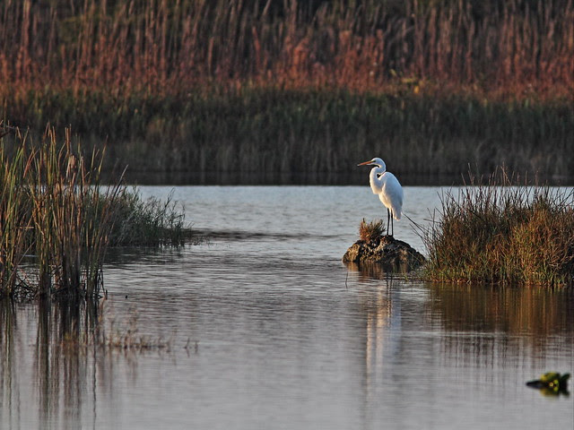 Great Egret 20131120