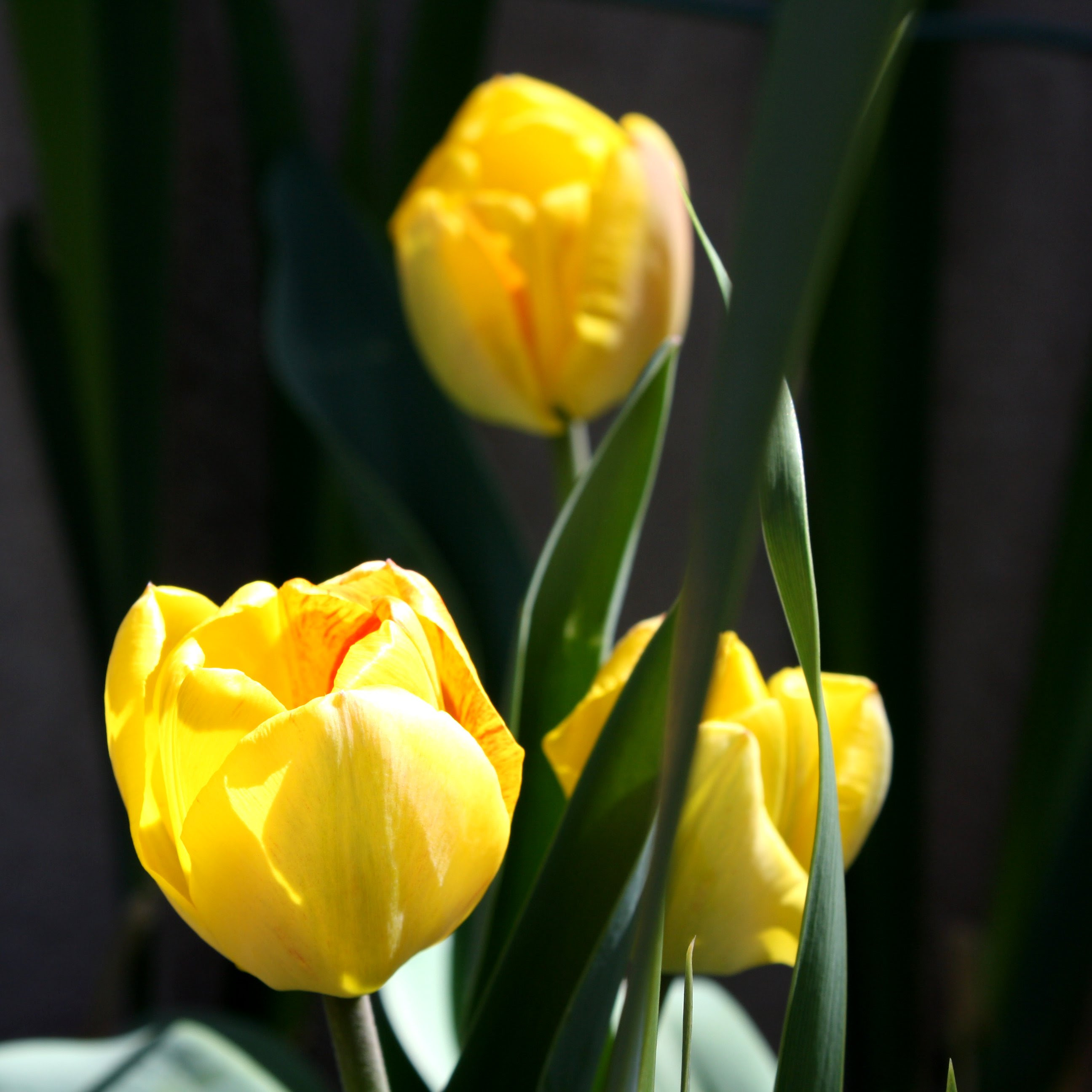 Three Yellow Tulips Picture Free Photograph Photos Public Domain