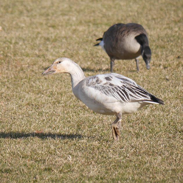 Ed Gaillard: birds &emdash; Snow Goose, Van Cortlandt Park