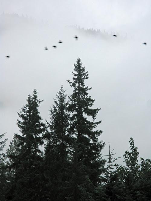 7 birds fly by a tree and a mountain ridge near Juneau, Alaska