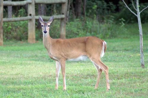 Whitetail Deer by David P James