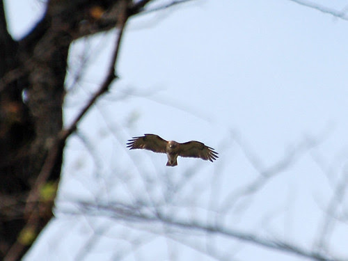 Red-Tail over Highbridge