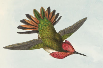 Selasphorus floresii - Gould natural history