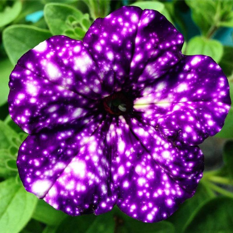 Flores espetaculares parecem ter o universo estampado em suas pétalas 06
