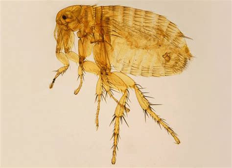 All About the Oriental Rat Flea   petMD