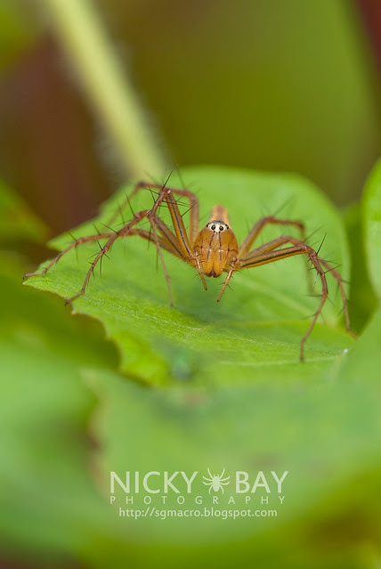 Lynx Spider (Oxyopidae) - DSC_6176