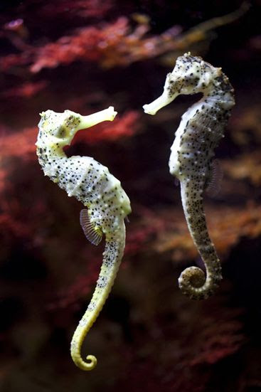 "A seahorse couple faces each other as they show creative ways to say ""I love you."""