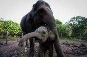 Gajah Betina Ditemukan Tewas Membusuk di Aceh Timur