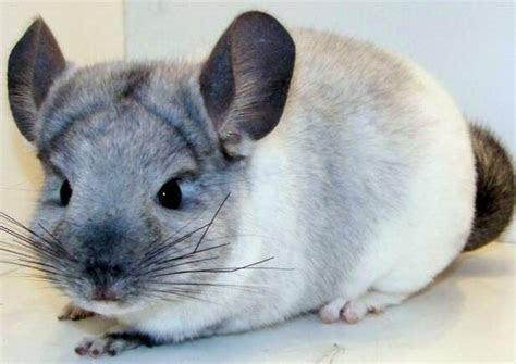 Chinchilla Facts   Animal Facts Encyclopedia