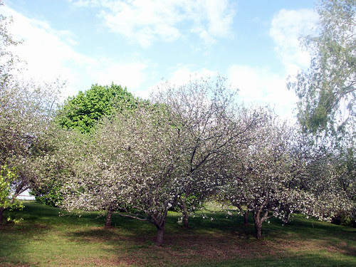 AppleTrees_51209