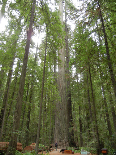 Avenue of the Giants, Humboldt Redwoods State Park, California _ 7460