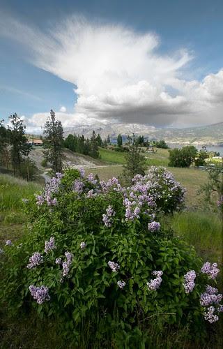 lilacs-clouds