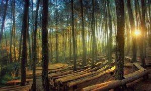 Hutan Pinus Mangunan