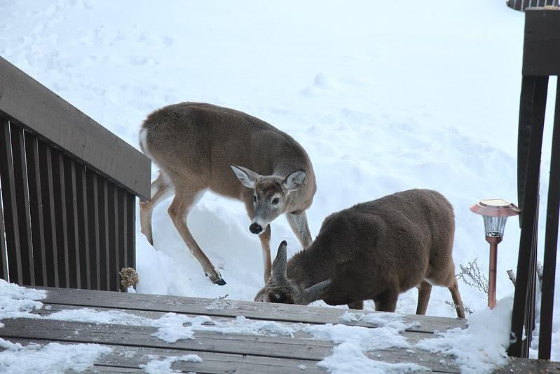 deer at steps2
