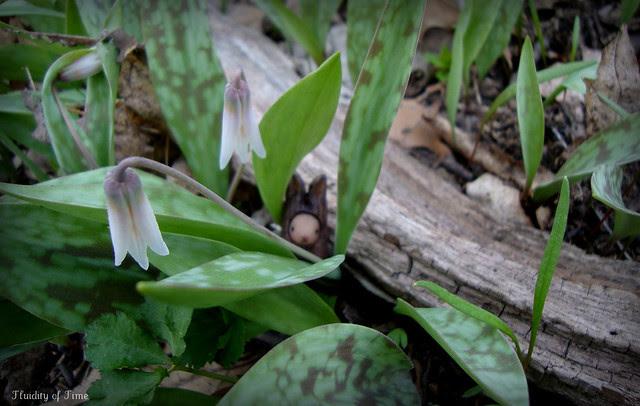 Bibbit and dogtooth violets.JPG