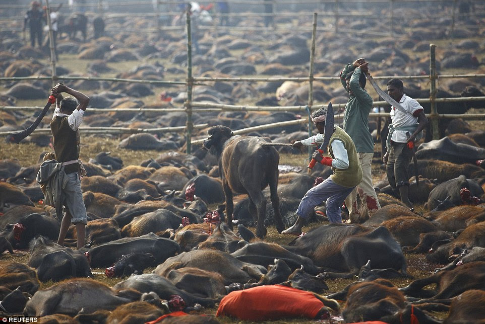 Although cows are considered sacred by Hindu's, the thousands of animals seen slaughtered in these pictures are buffalo