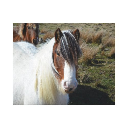 Connemara Pony Stretched Canvas Prints