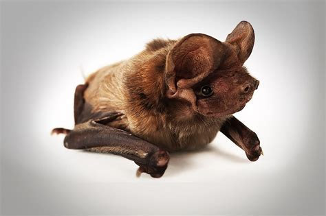Critically endangered bat found?on a Florida golf course! « Why Evolution Is True