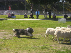 sheepherding_beardedcollie3