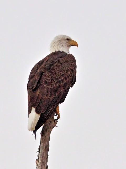 Bald Eagle female 2-20131019