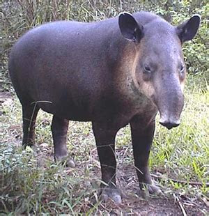 The Tapir ? Kaieteur News