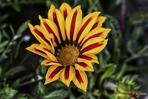 Spanish flower by lujaban