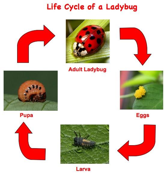 πασχαλίτσα κύκλου ζωής