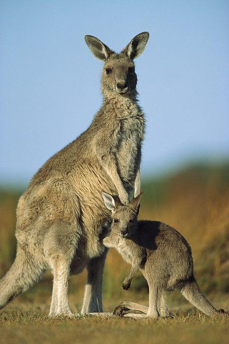 Eastern Grey Kangaroo And Her Joey Greeting Card