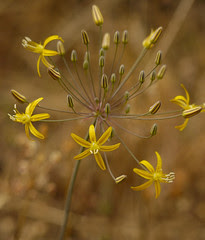 golden stars - bloomeria crocea