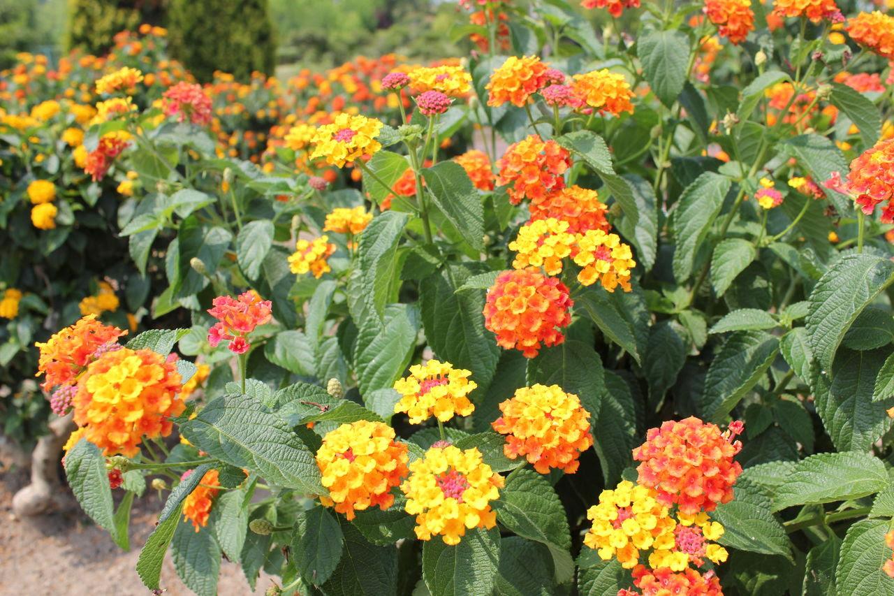 いわき市フラワーセンター 開花状況ご案内 8月の花