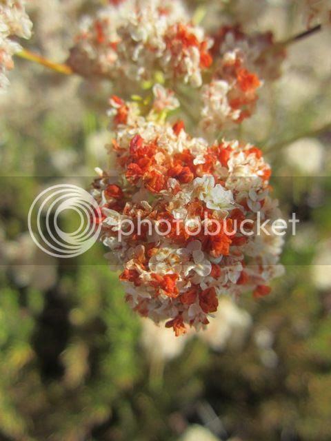 Calif. buckwheat