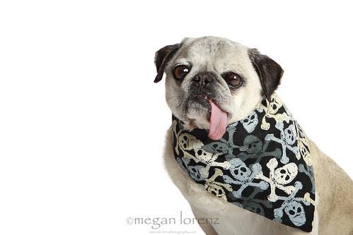 Tough Pug by Megan Lorenz