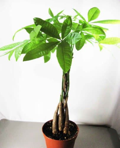 Money plant safe for cats and dogs