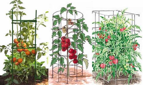 tutorado tomates