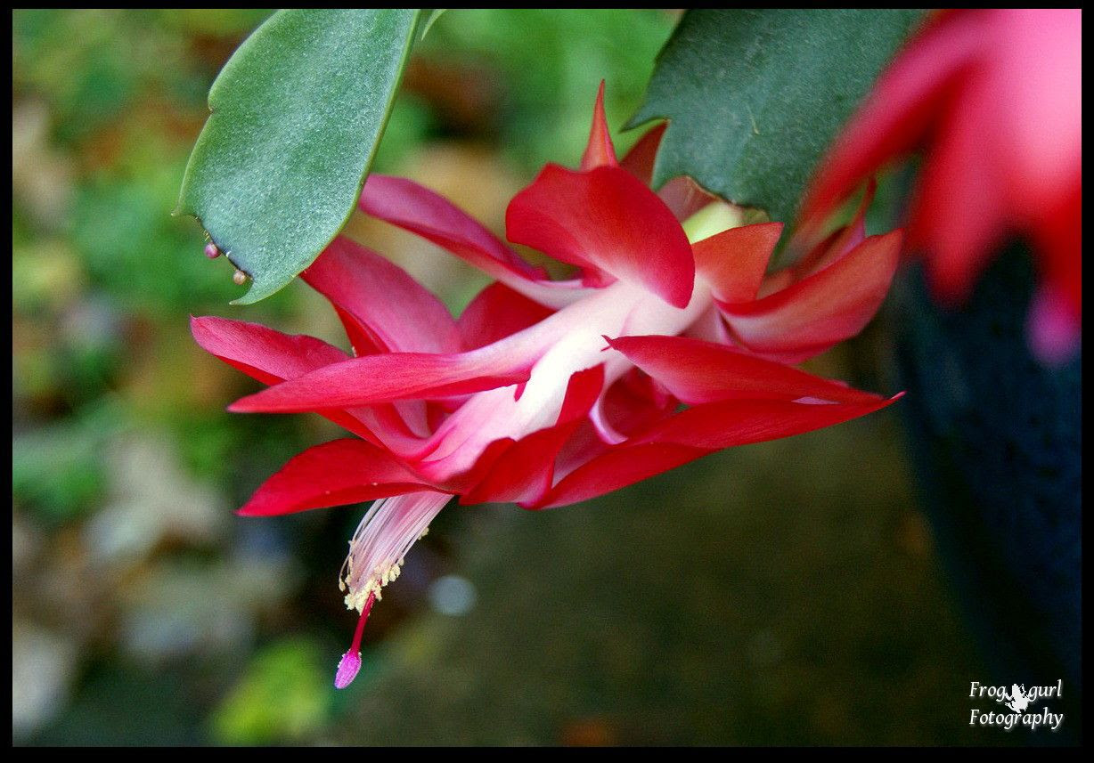 13.12, My christmas cactus is blooming just in time christmas this year!