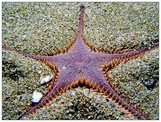 Sea star , Astropecten sp.