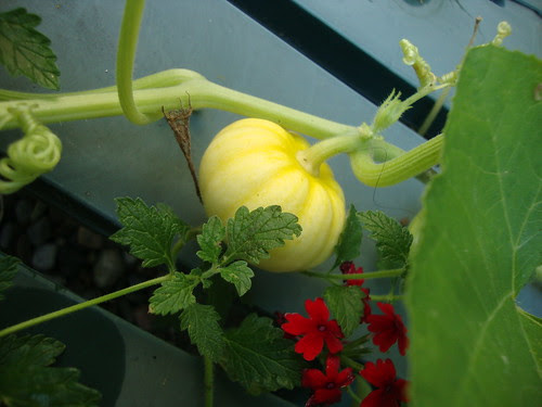 Pumpkin progress 8/13
