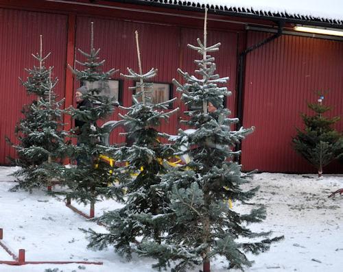 tree-farm :: juletregården #2