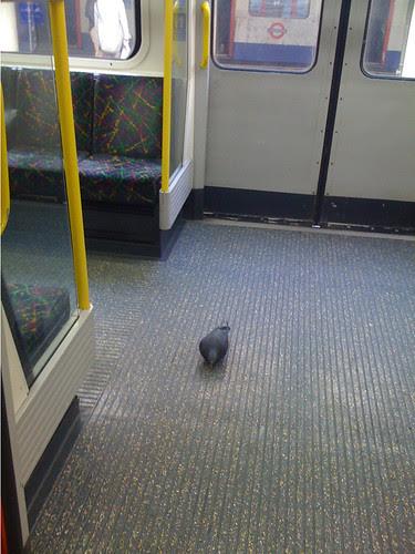 Tube Pigeon by John Bull