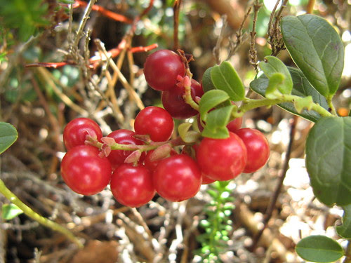 Lingonberries / Pohlad