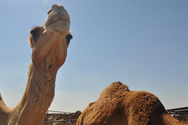 Camel souk-Doha-fev (7)