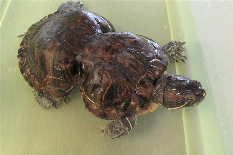 Esta tartaruga é a prova viva de que temos de parar de poluir os rios