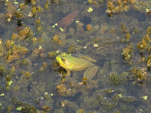 IMG_5431_Frog_at_Beaver_Marsh