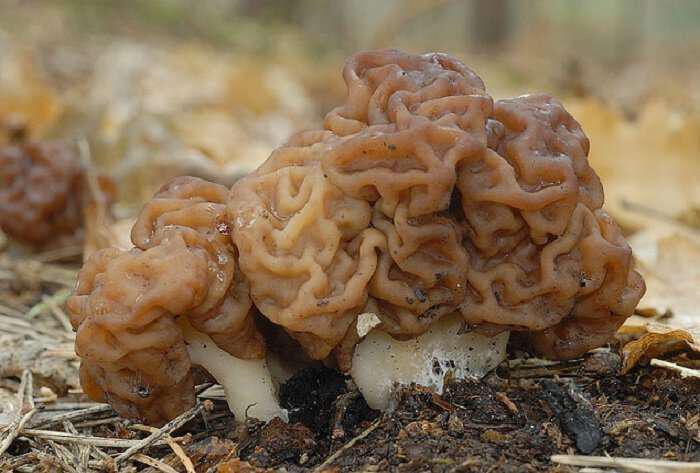 Gyromitra esculenta-manitari-d