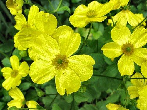 20100409-rq-monte-09-Ranunculus cortusifolius subsp. major